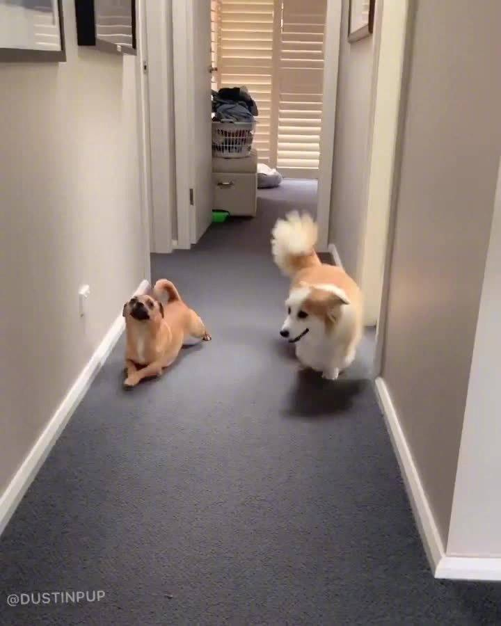 狗狗专门模仿柯基走路