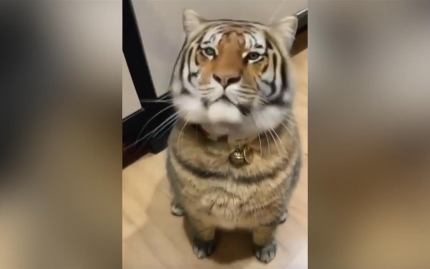 猫: 你看我虎吗?