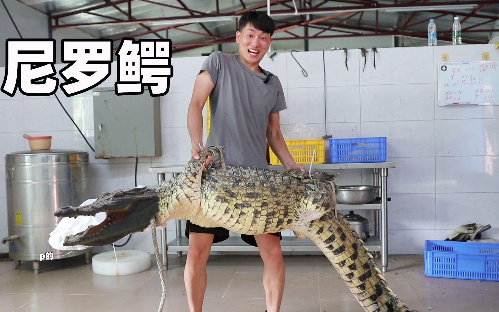 到鳄鱼场抓条上100斤尼罗鳄, 做红烧鳄鱼腩有多美味?  鳄鱼鞭 却被小俊哥吃了