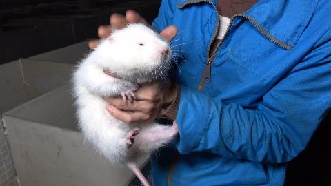 华农兄弟:看一下出生不久的小竹鼠,顺便看一下小白和西西瓜瓜