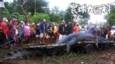 1吨重的食人兽!看菲律宾人如何活捉世界上最大的鳄鱼【寰球大百科280】