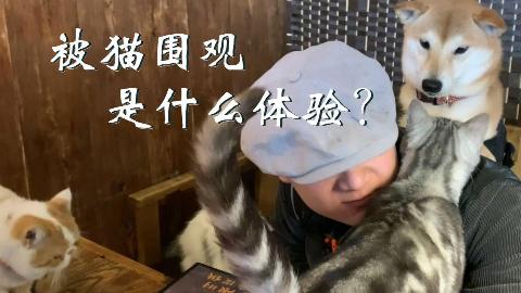 长安一条柴:当叶公好龙的柴犬来到了猫屁股西餐厅...
