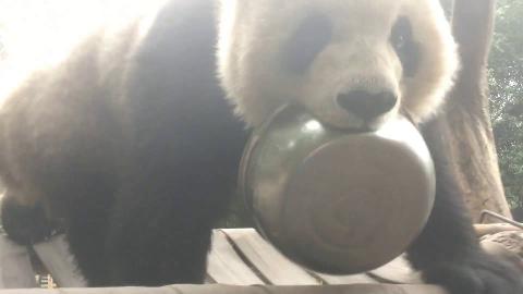 【熊猫团子】渝贝这盆不好收啊~