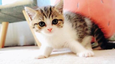 小奶猫们首次巡视江山,惨遭胖猫欺负,可怜巴巴的样子好委屈