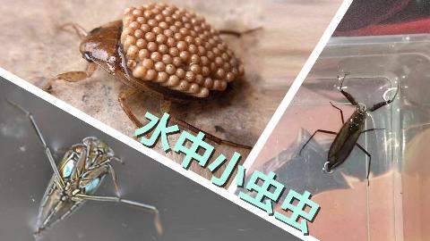 水中的三种小虫虫,仰蝽蝎蝽负子蝽,他们都是吃肉的