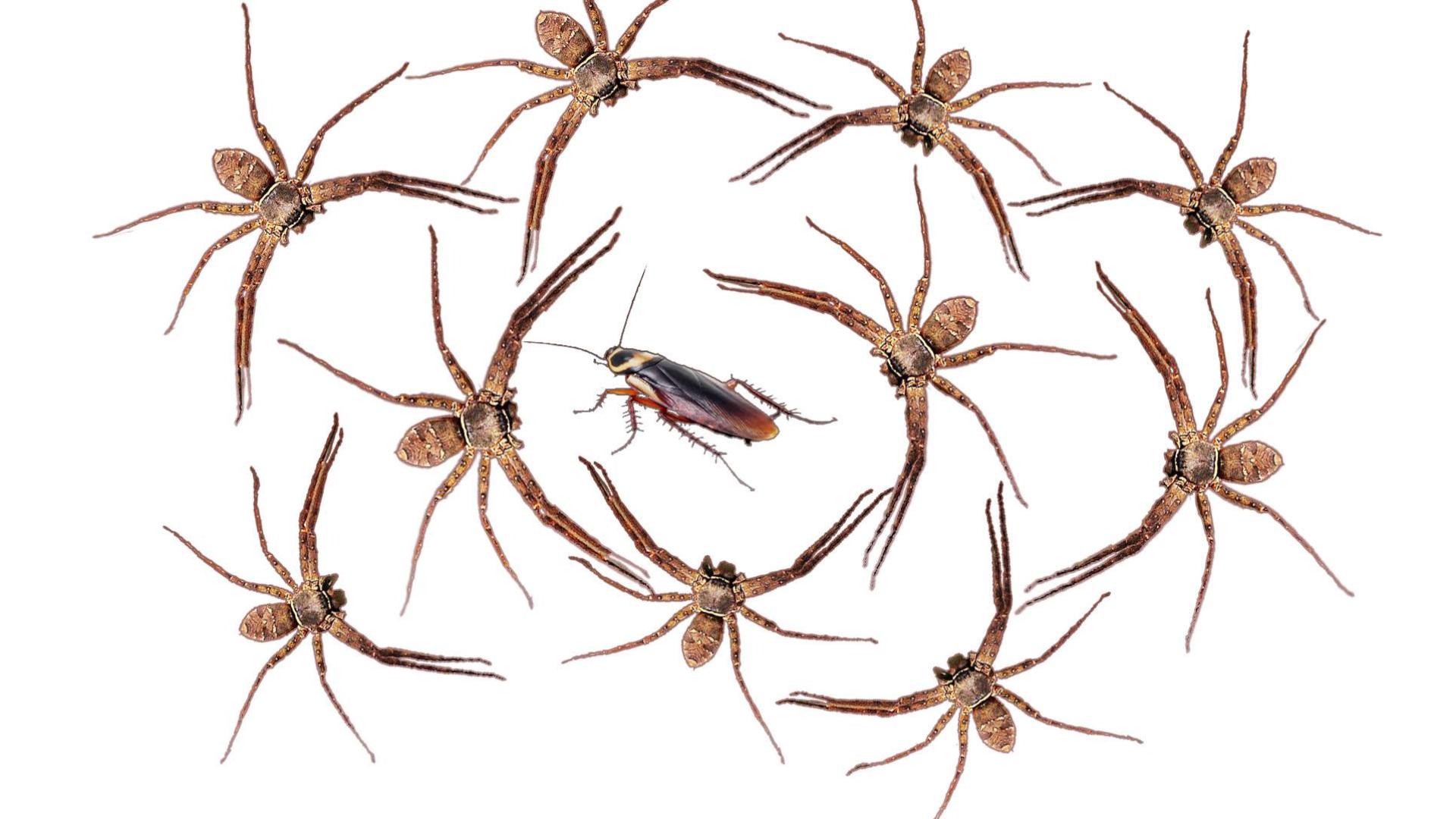 【电锯惊魂】一只小强放进有10只白额高脚蛛的密封盒里,撑过10分钟就放了它