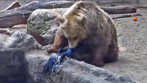 【每日药闻】动物新闻,这头熊救了一只落水的乌鸦