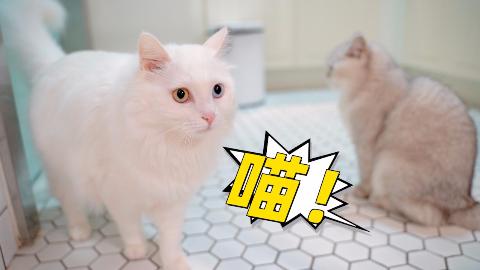 千万别给猫咪听奶猫叫,绝育母猫听了想当妈,搜遍全家找奶猫
