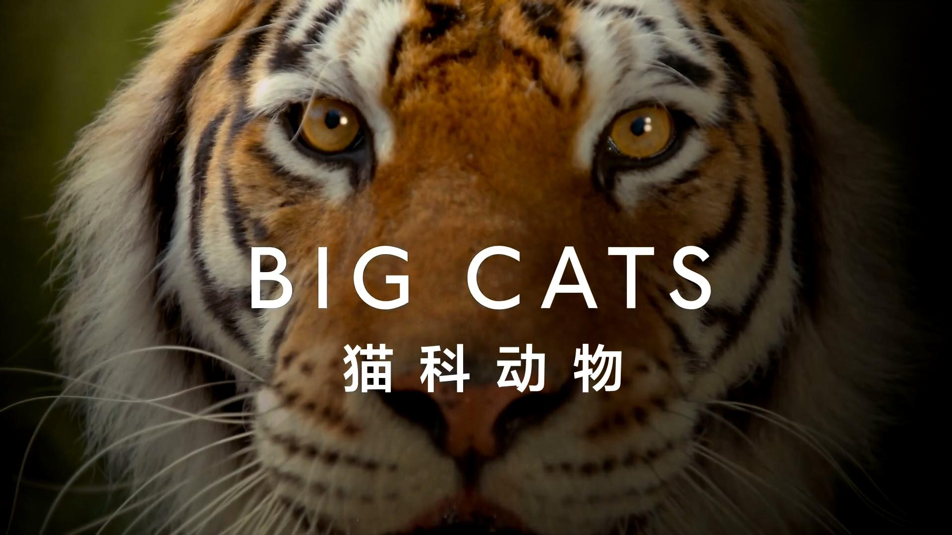 【纪录片】猫科探秘 第二集【双语特效字幕】【纪录片之家爱自然】
