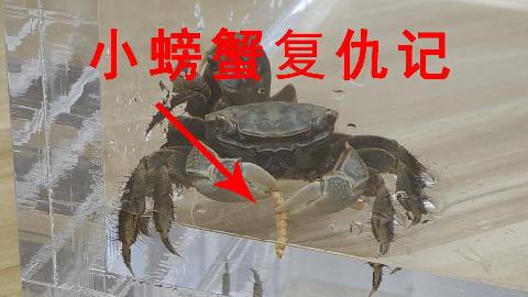 小螃蟹复仇记,猛吃面包虫,一洗前耻!