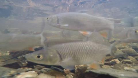 【水下摄像】捷克伏尔塔瓦河喂鱼