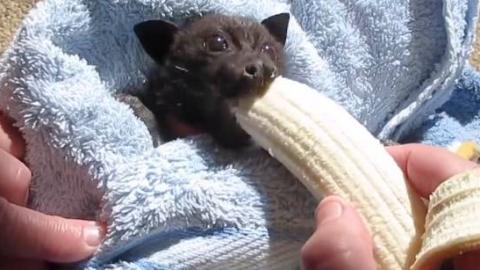 网友救了一只被车撞到的果蝠,次日喂它吃香蕉,简直萌翻啦