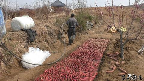 实拍山东农村搭建红薯棚!你见过农村的红薯炕吗?农民用它来育苗