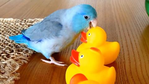鹦鹉搞笑视频合集147