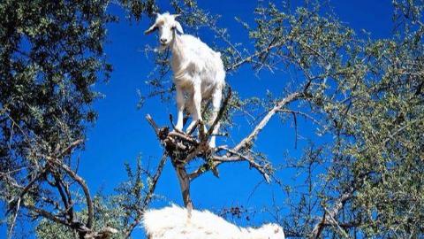 摩洛哥的树上长出了一群羊?为了混一口吃的,羊都会上树了
