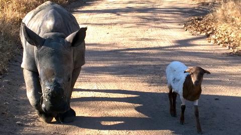 【每日药闻】一只认为自己是山羊的犀牛