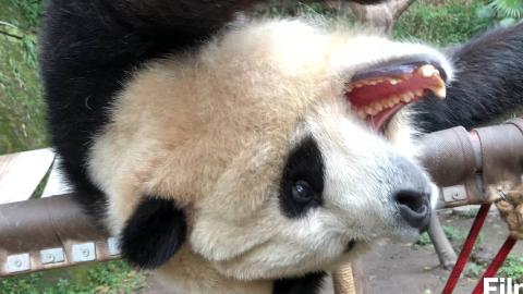 【熊猫团子】三宝唯一还能rua的渝贝~