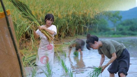 月儿圆圆,稻米飘香,正逢农家收谷忙