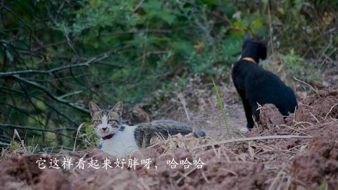 范娃家的猫咪是跟屁虫,主人去哪它们就去哪,今天跟着范娃挖花生