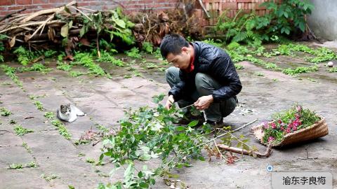 农村小伙挖来一大撮箕石竹和月季,修剪枝丫过后,全部种在地里。