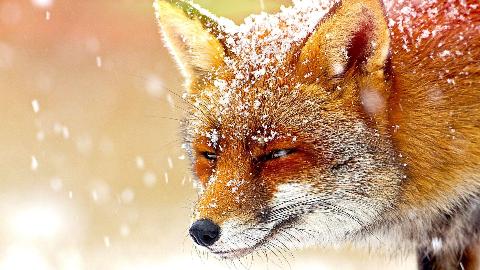 纪录片.BBC.神奇动物大揭秘:狐狸.2014[IMDB 8.4][高清][英字]