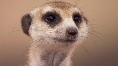 【BBC地球】猫鼬的警告传达方式