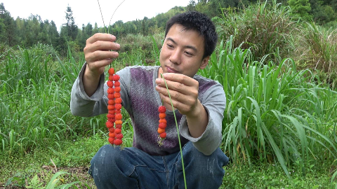 华农兄弟:山上的萢子熟了,又大又红,摘点串起来吃