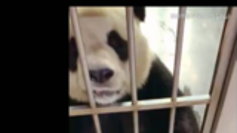 大熊猫金虎什么都懂!成精了的熊孩子!