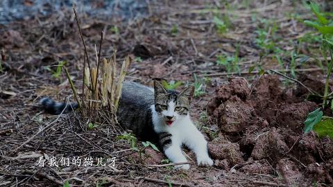 这个夏天太热了,良梅的猫咪像小狗一样,热的一直不停的吐舌头