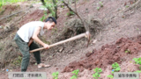 农村小伙想夏天吃四川泡菜,赶紧把红萝卜种起,2只猫跟着小伙走