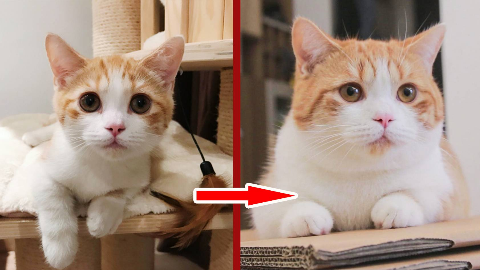 橘势已定!记录橘猫膨胀过程,不满一岁全面猪化!