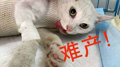 刚救助的流浪猫就难产,没想到因祸得福