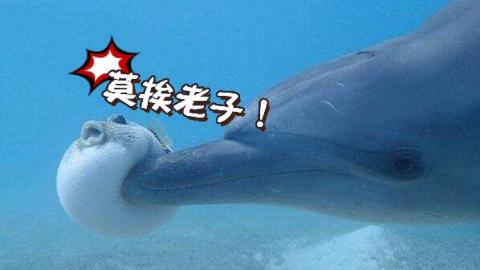 暗绿鲀:超萌河豚吃起东西来居然这么凶残?!
