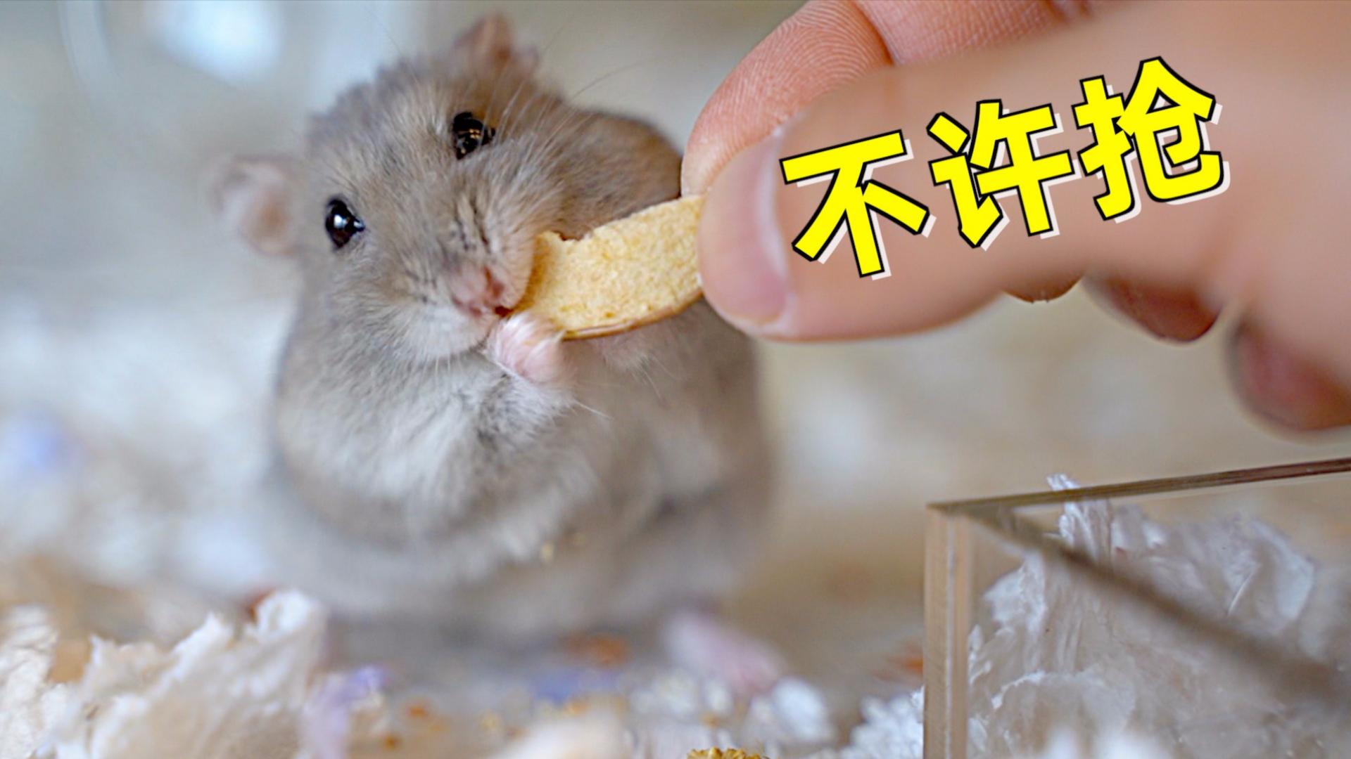 特写镜头下的仓鼠吃播,吃的也太香了,我都忍不住看饿了