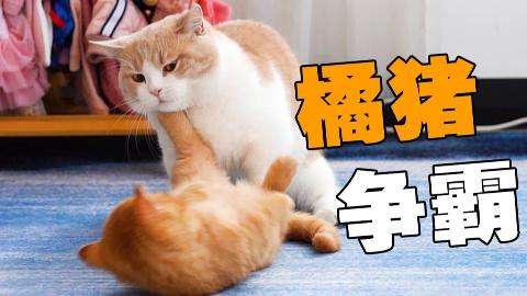 两橘第一次相见直接开打!众猫:橘势不妙