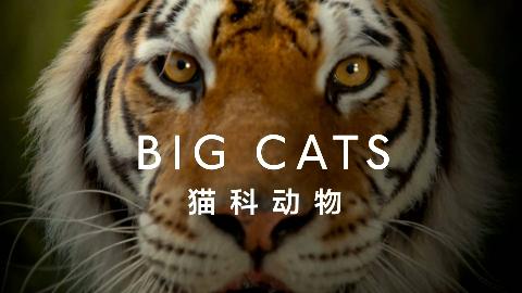【纪录片】猫科探秘 第一集【双语特效字幕】【纪录片之家爱自然】