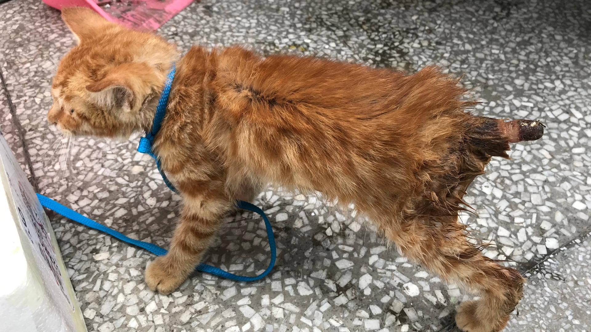 流浪猫:猫咪的尾巴被人砍断,简直惨不忍睹