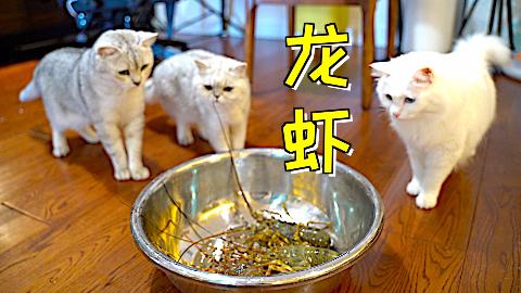 三只怂猫第一次见龙虾,围观龙虾却不敢动手,那就动嘴!