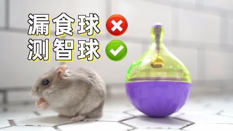猫和老鼠到底哪个更聪明,用神秘小球测试后,仓鼠竟完虐猫咪