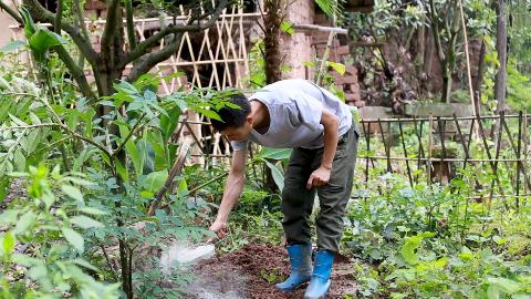 农村小伙开始种秋南瓜,不放化肥,只撒这种天然肥料,安全无污染