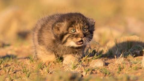 【我超凶的】兔狲在蒙古(帕拉斯猫)