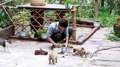 农村小伙种菊花,两只小奶狗旺财和富贵在欺负锅铲,锅盖在捣乱。