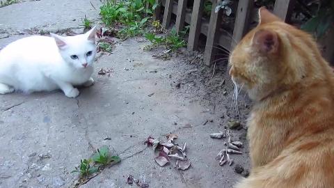 愤怒的白猫对着橘猫怒叫