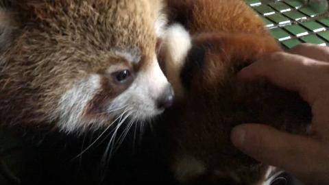 【小红熊猫】开始吃苹果的红熊猫仔仔~