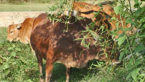 农村大哥花25000元买进3头老黄牛,拿来耕田用,值得吗