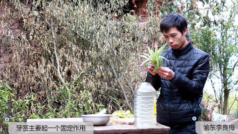 农村小伙把菠萝的叶子用来种,你们说说能长出来小菠萝吗?