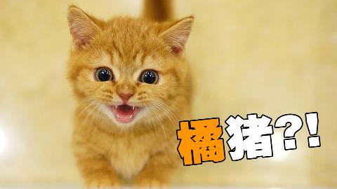背着家里猫偷了只奶橘回来,猫:妈,你会后悔的!!!