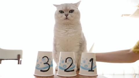 女主人和猫咪玩智力游戏,猫:明明可以靠脸吃饭,要什么智商!