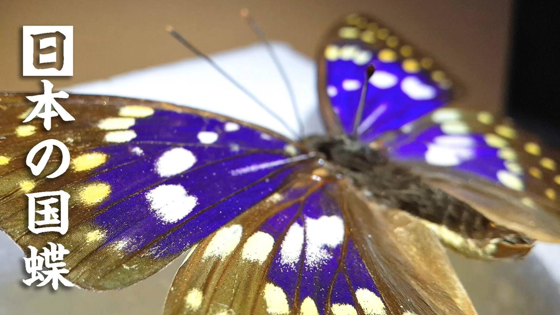 第一次做蝴蝶标本,就拿日本国蝶练手吧!制作方法详解~
