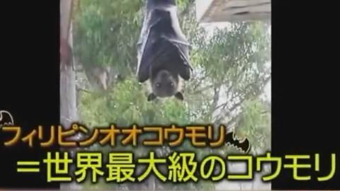 【日本综艺】巨型蝙蝠来袭!!!